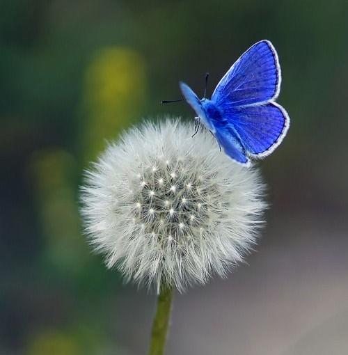 flutterby_dandelion_imgfavedotcom
